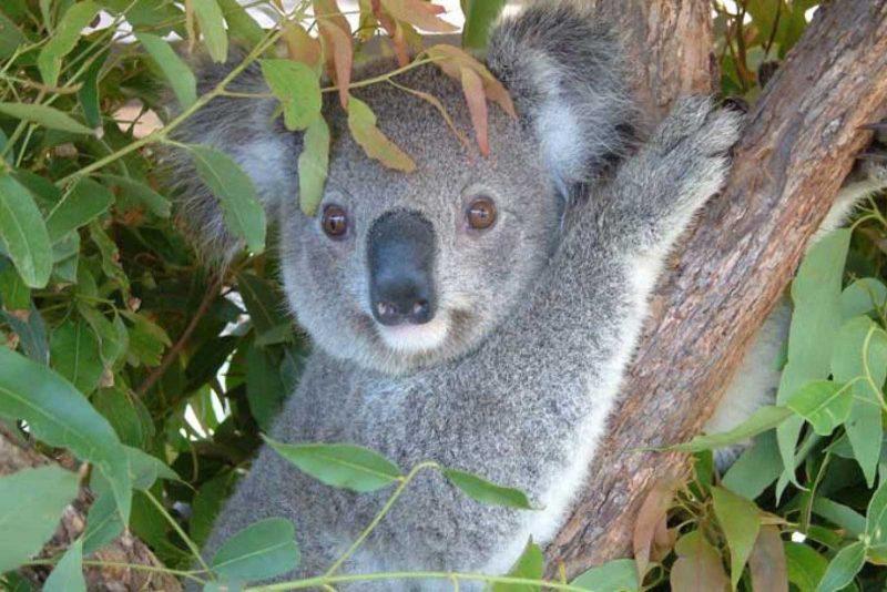 koala_hospital